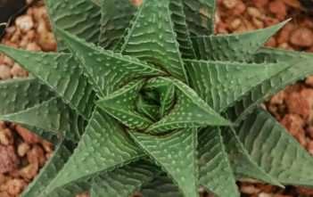 Haworthiopsis limifolia (Fairy Washboard) aka Haworthia limifolia