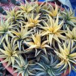 Haworthia limifolia f. variegata - Fairy Washboard