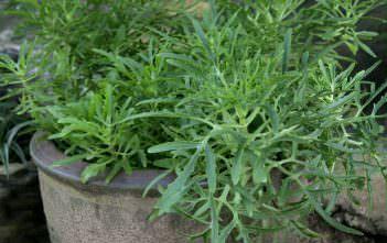Kalanchoe laciniata - Christmas Tree Plant