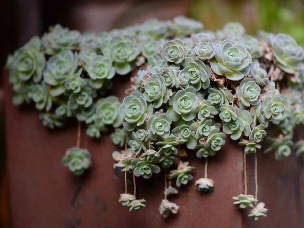 Orostachys Furusei World Of Succulents