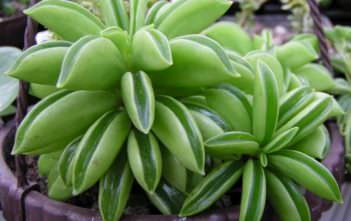 Peperomia dolabriformis - Prayer Pepper