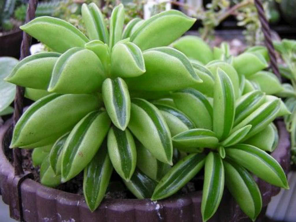 Small Pot Plants Peperomia Dolabriformis Prayer Pepper World Of Succulents