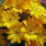 Rebutia marsoneri - Krainz' Crown Cactus