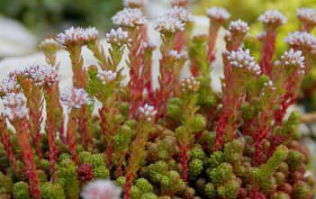 Sedum lydium - Mossy Stonecrop