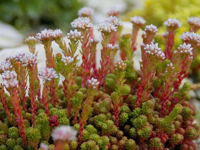 Sedum lydium (Mossy Stonecrop)