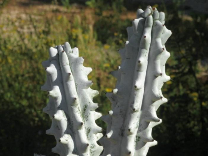 Stenocereus beneckei f. inermis
