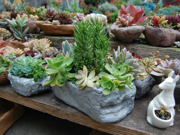helpful tips for growing succulents world of succulents. Black Bedroom Furniture Sets. Home Design Ideas