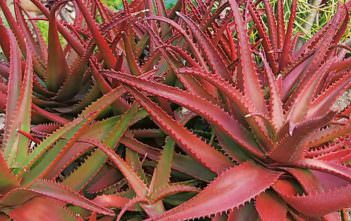 Aloe cameronii - Red Aloe