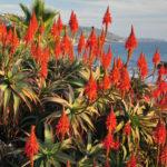 Aloe cameronii - Red Aloe