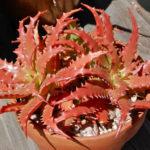 Aloe dorotheae (Sunset Aloe)