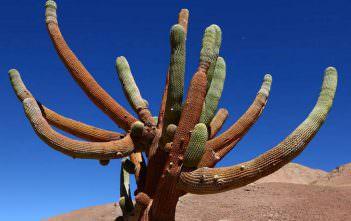 Browningia candelaris - Candleholder Cactus