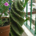 Cereus validus 'Spiralis' (Spiraled Cereus)