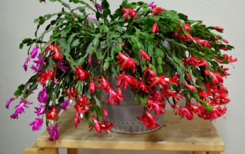 Rotted Christmas Cactus