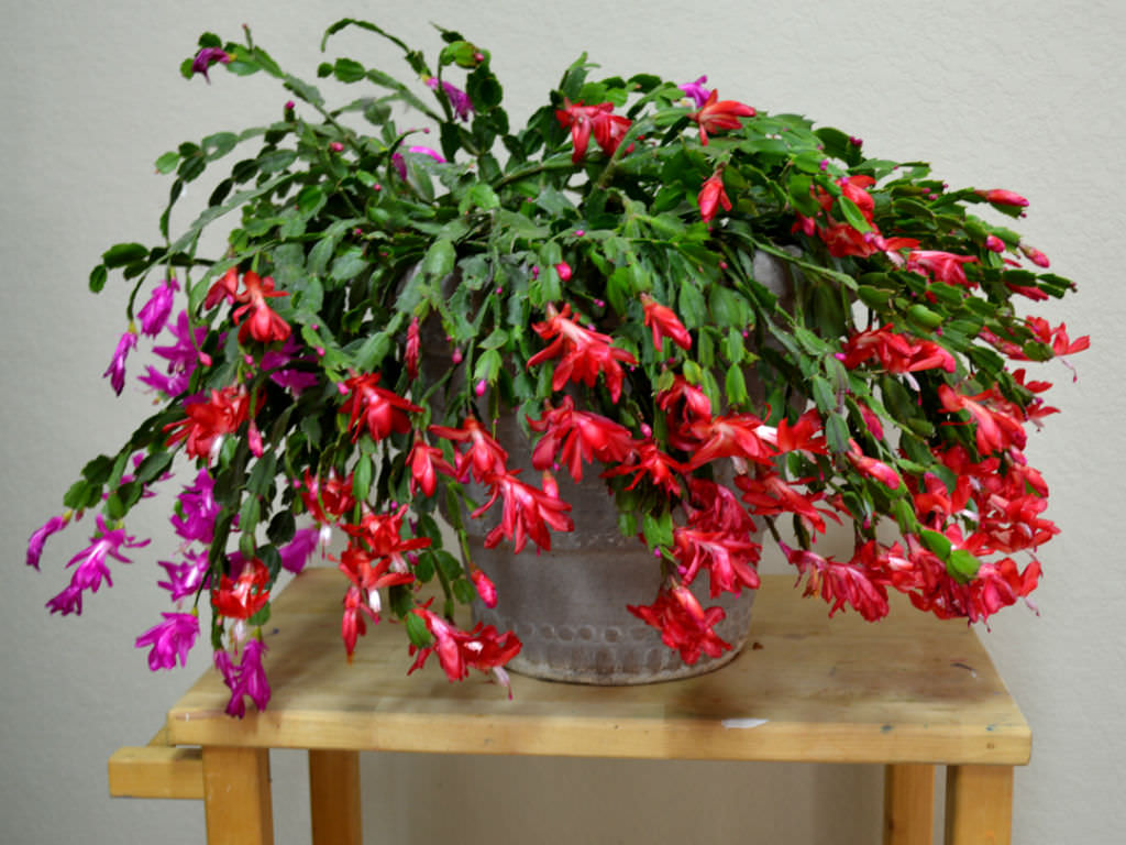 rotted christmas cactus photo via pinterestcom - Christmas Catus