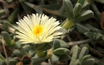 Corpuscularia taylorii - Ice Plant