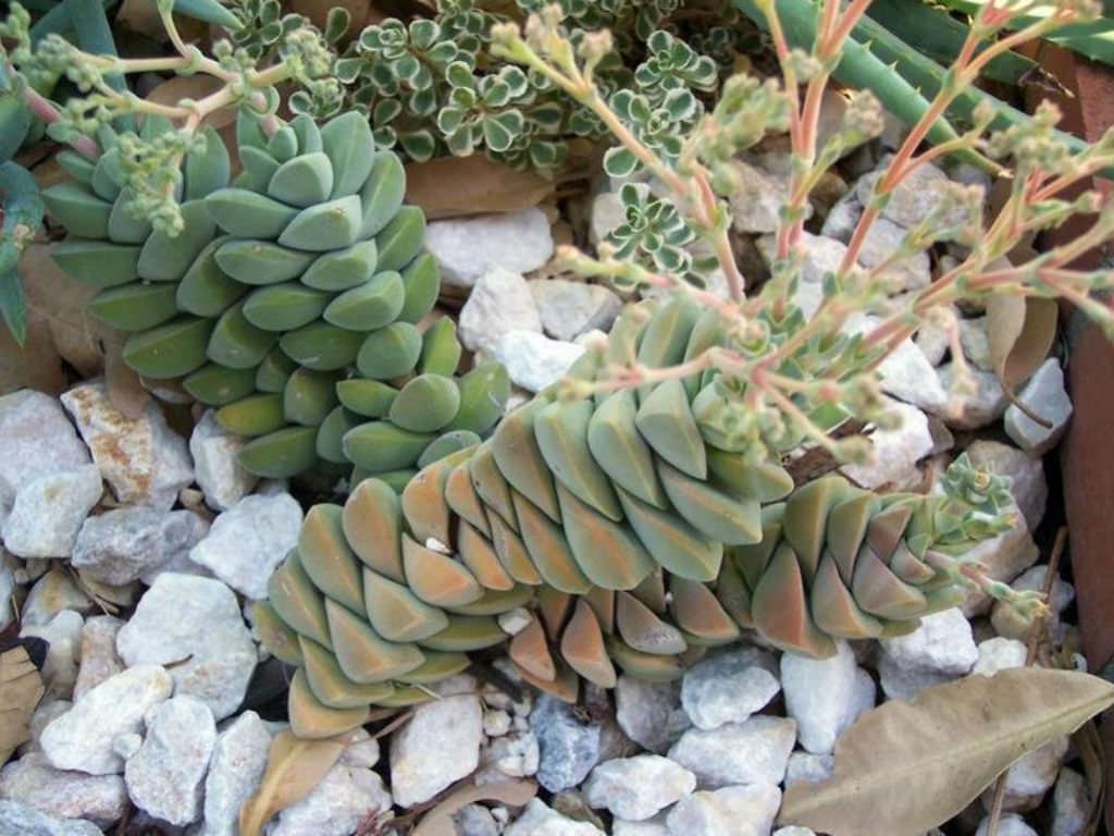 Crassula /'Moonglow/' Succulent