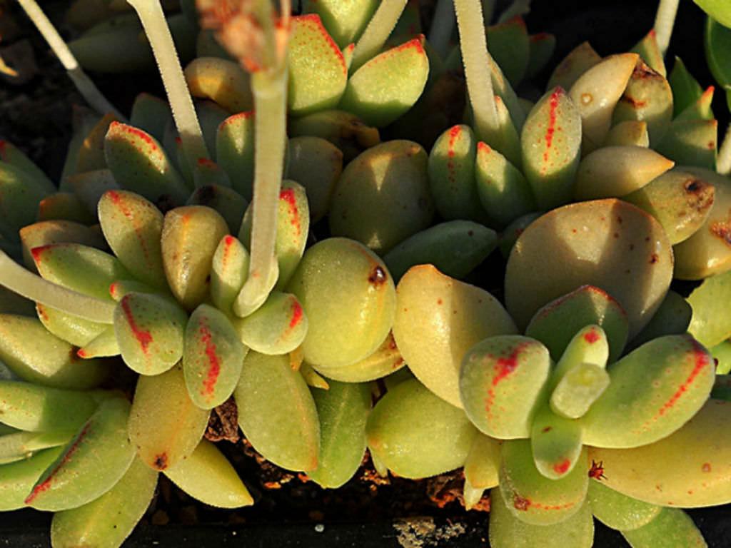Crassula ausensis ssp SEEDS rare SA succulent caudex Adromischus ausensis 50
