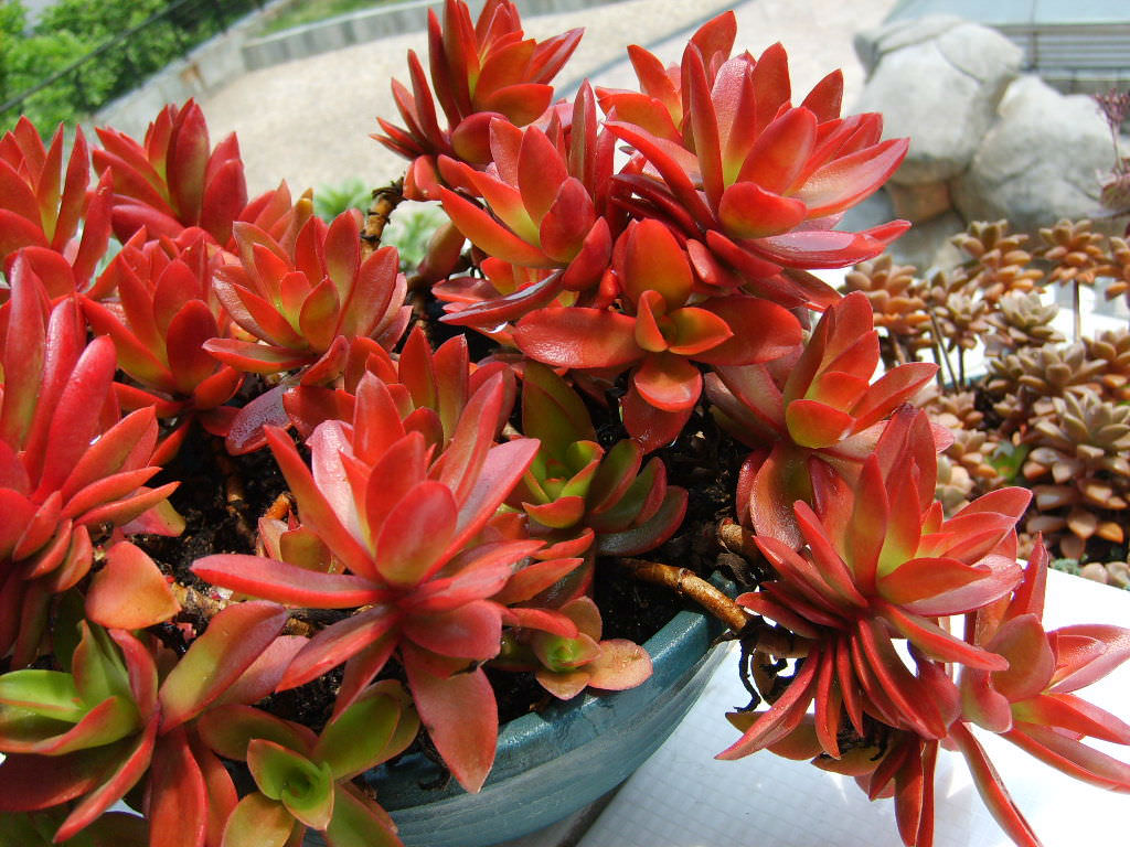 Crassula Capitella Campfire Campfire Crassula World