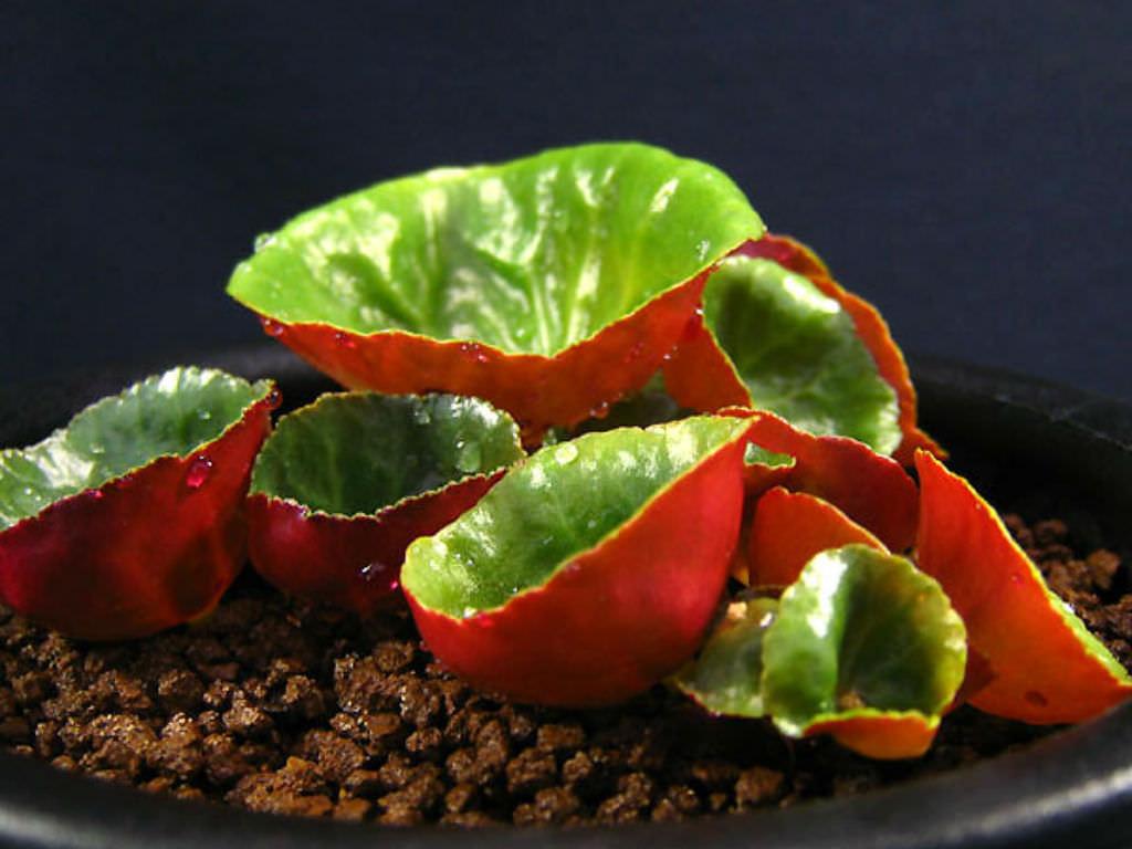 Crassula Umbella Wine Cup World Of Succulents