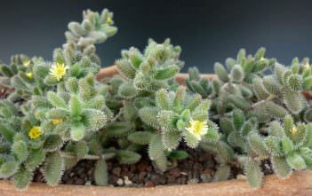 Delosperma echinatum (Pickle Plant)