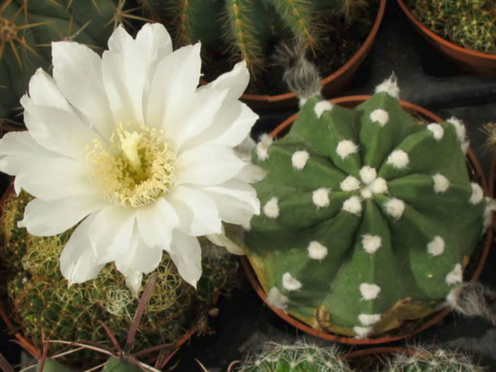 Echinopsis subdenudata (Easter Lily Cactus)