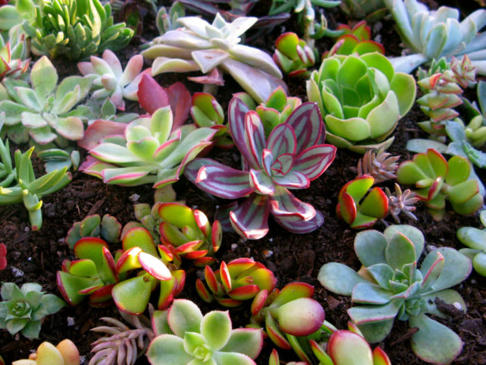 Grow Succulents From Clippings