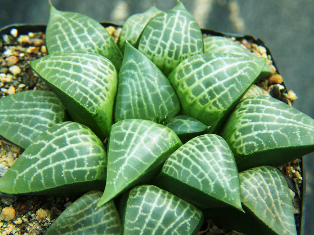 Haworthia emelyae var. comptoniana | World of Succulents