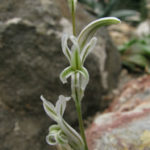 Haworthia emelyae var. comptoniana