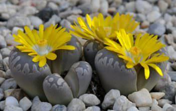 Lithops otzeniana - Living Stones