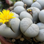 Lithops ruschiorum (Bushman's Buttocks)