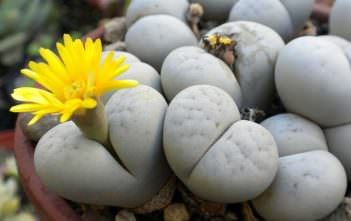 Lithops ruschiorum - Living Stones