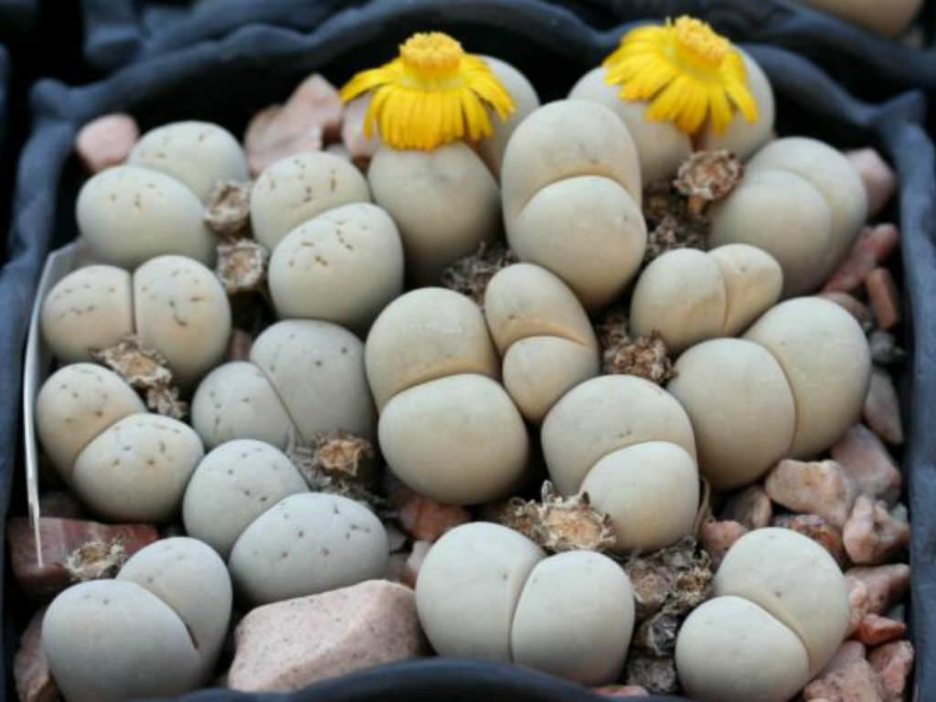 Lithops Ruschiorum Living Stones World Of Succulents