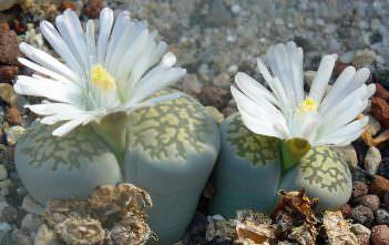 Lithops salicola - Living Stones
