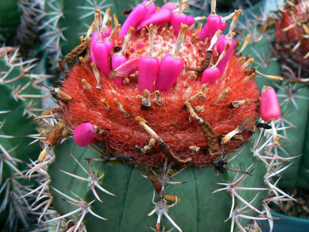 Melocactus Bahiensis World Of Succulents
