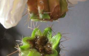 My Cactus Going Soft