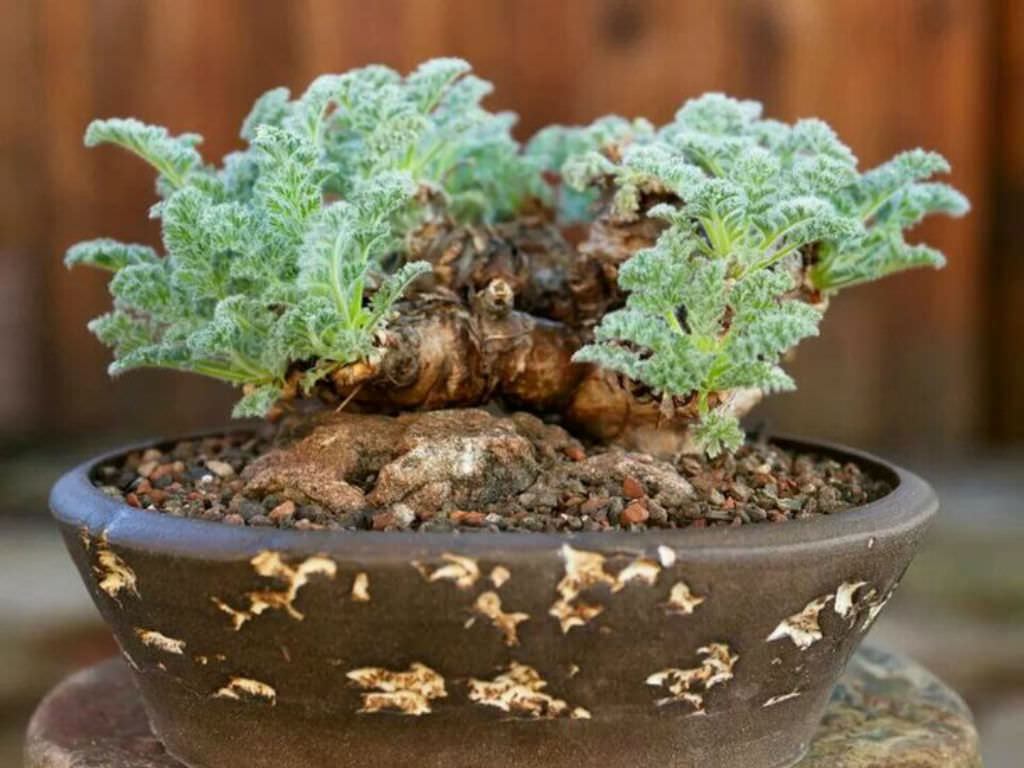 How To Grow And Care For Pelargonium World Of Succulents