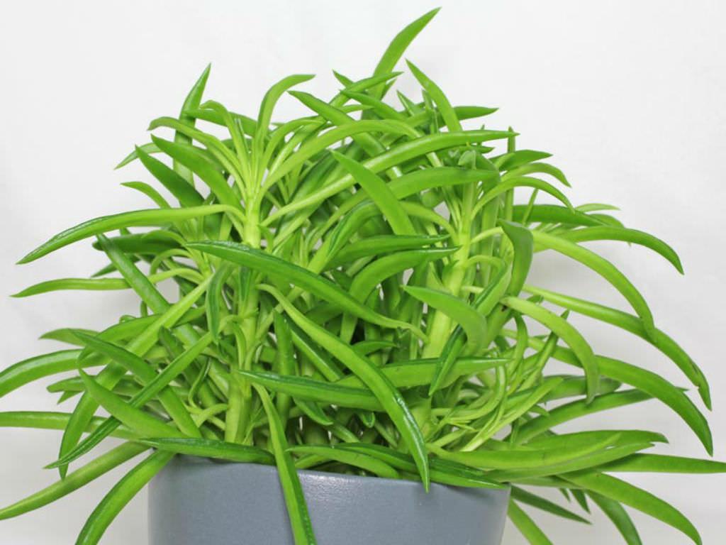 peperomia ferreyrae pincushion peperomia world of succulents. Black Bedroom Furniture Sets. Home Design Ideas
