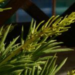 Peperomia ferreyrae - Pincushion Peperomia