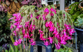 Save a Rotted Christmas Cactus (Marina Matias)
