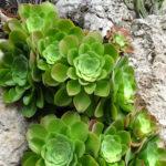 Aeonium canariense - Giant Velvet Rose