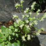 Aeonium hierrense - El Hierro Giant Houseleek