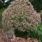 Aeonium urbicum (Saucer Plant)