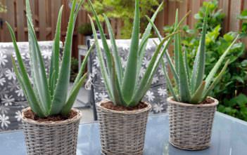 Aloe vera - Health Benefits