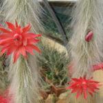 Cleistocactus winteri subsp. colademononis - Monkey's Tail