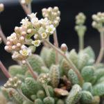 Crassula ausensis subsp. titanopsis