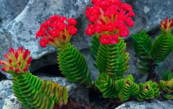 Crassula coccinea - Red Crassula