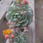 Echeveria derenbergii - Painted Lady