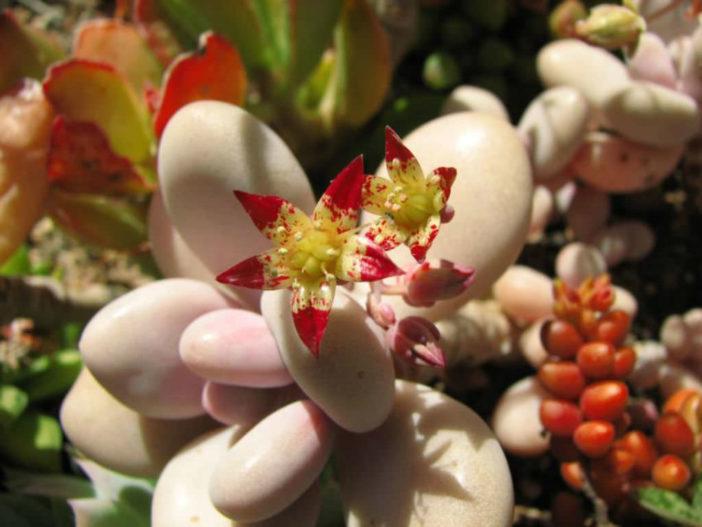 Graptopetalum amethystinum (Lavender Pebbles)