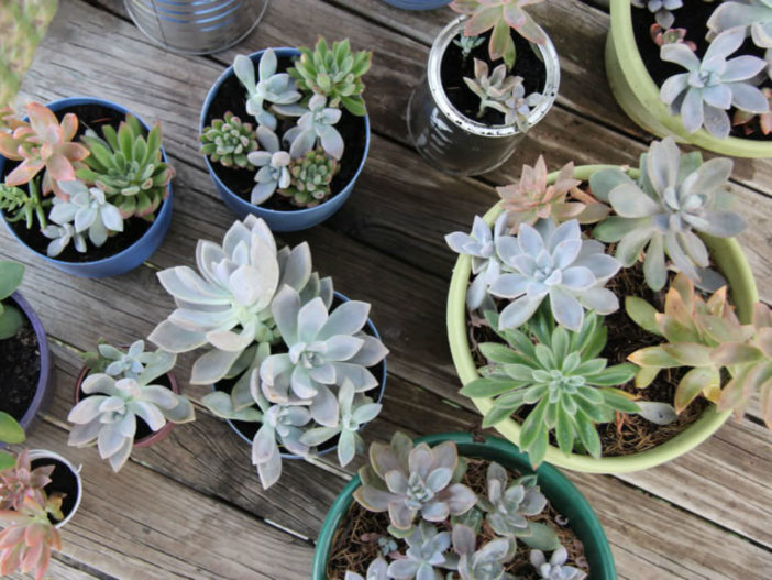 Growing and Propagating Succulents