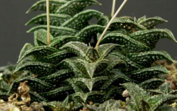 Haworthia nigra - Black Haworthia
